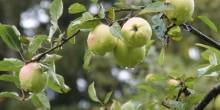eine von vielen Apfelsorten